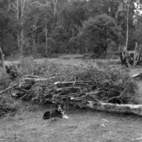 Jack Venables stripping branches for eucalyptus still